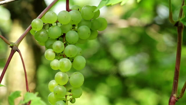 Green grapes on vine video