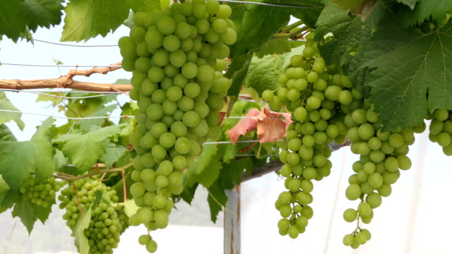 green grapes video