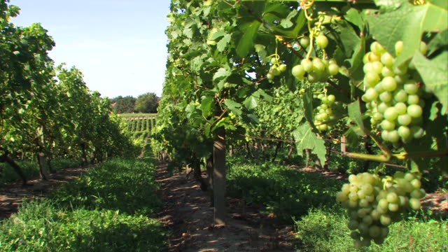 uva verde-vinery - uva riesling bianco video stock e b–roll