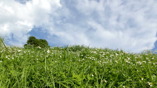 Green grass and white daisies video