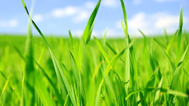 Green grass background-HD video