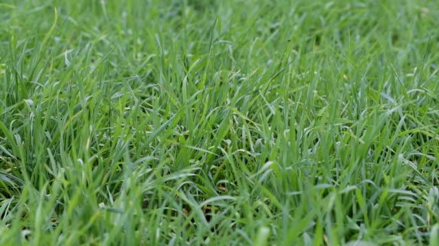 green grass close-up video