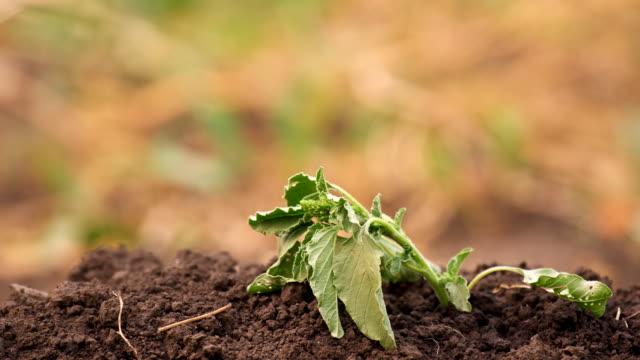 Green grass drying in vegetable garden video