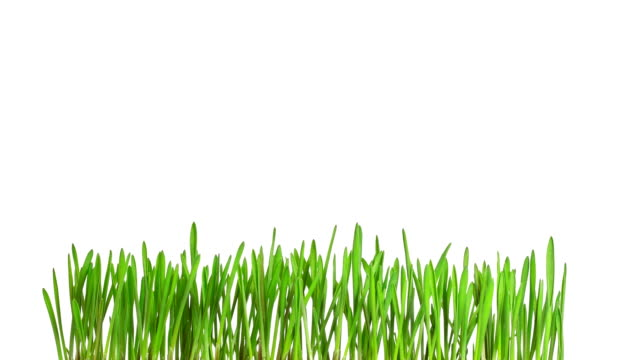 Green grass growing time-lapse - isolated on white background video
