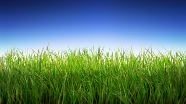 Green Grass in the breeze. Loopable, with alpha matte. video