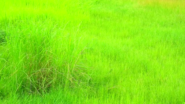 green grass in the field were swing by wind and light of sunset