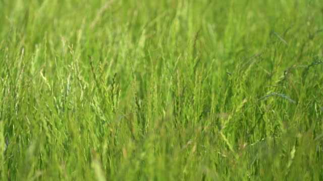 Green grass meadow swaying in the wind. Slow motion