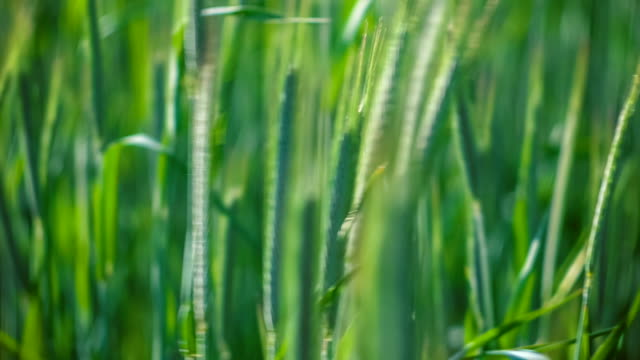 green grass, moving from the wind. blurred background - lama oggetto creato dall'uomo video stock e b–roll