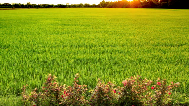 Green grass paddy rice field at dusk video