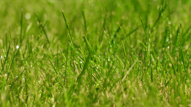 Green grass plant at rain with water drops. Growing green grass plant. Drops falling on leaf of grass. plant part stock videos & royalty-free footage