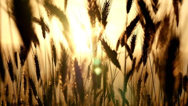stockvideo's en b-roll-footage met groen gras zonsondergang 4k - gerst