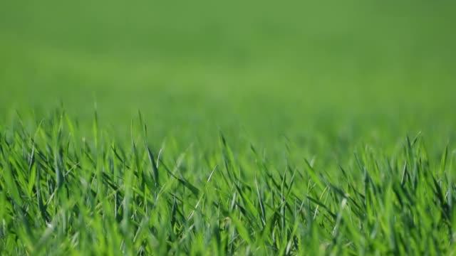 vídeos de stock, filmes e b-roll de textura da grama verde - gramado terra cultivada
