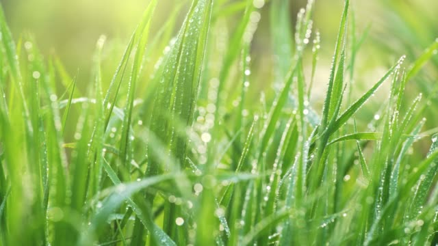 Green grass with dewdrops.  Sliding shot of fresh grass with water drops in the morning sun. UHD, 4K