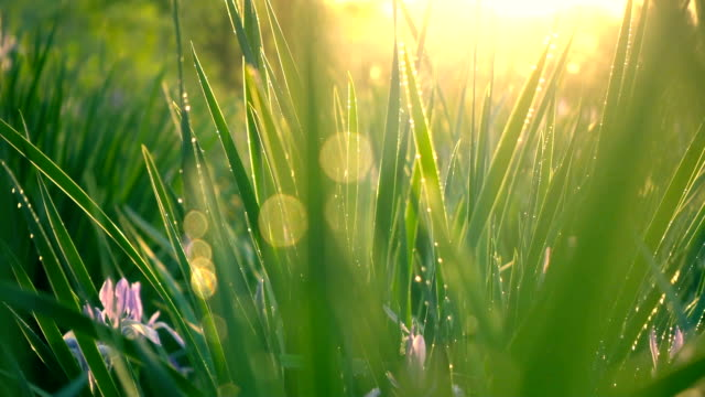 Green Grass with sunlight Green Grass with sunlight dawn stock videos & royalty-free footage