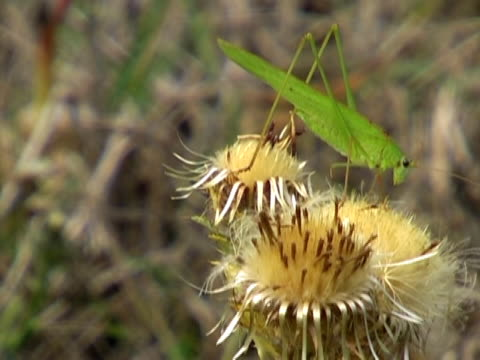 verde grasshoper - arto inferiore animale video stock e b–roll