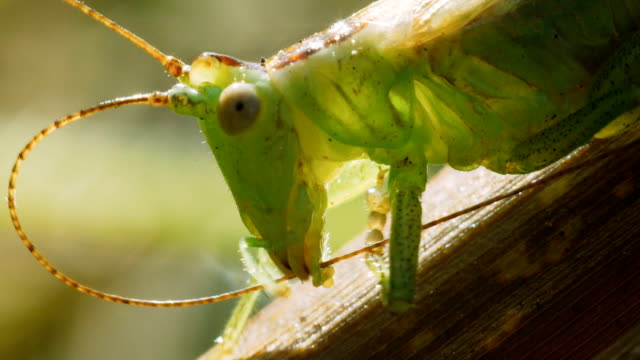 Green grasshopper cleans antennae.