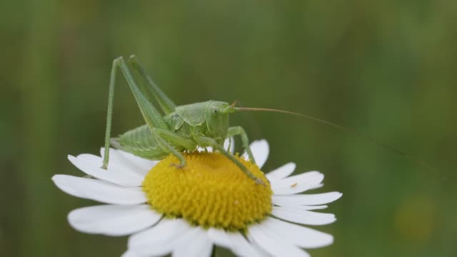 Green grasshopper on daisy flower, extreme close-up