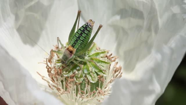 Green Grasshopper On White Opium Poppy Flower video