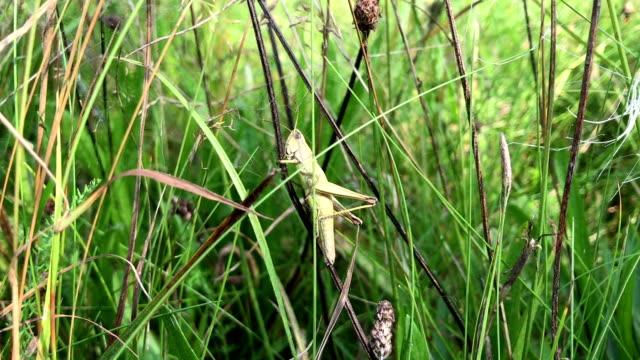 Green Grasshopper sitting on grass