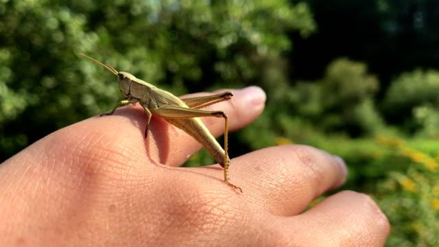 Green Grasshopper sitting on hand pov, wonderful nature, world