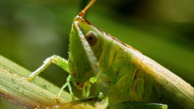 grüne heuschrecke tettigonia viridissima auf einem grashalm. - grashüpfer stock-videos und b-roll-filmmaterial
