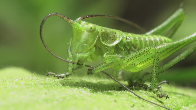 grüne heuschrecken - grashüpfer stock-videos und b-roll-filmmaterial