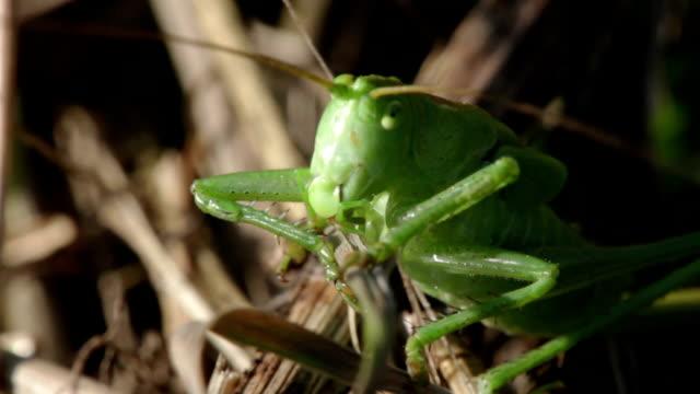 Green grasshopper video