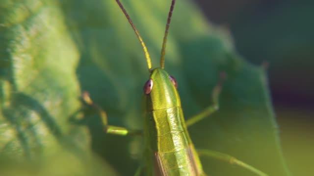 eine grüne heuschrecke mit einem braunen rücken sitzt auf einem flachen blatt des grases. grüne heuschrecke versteckt unter den blättern sommer hautnah. clip - feldheuschrecken stock-videos und b-roll-filmmaterial