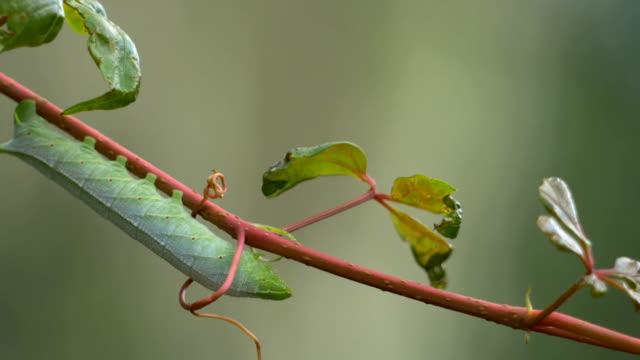 yeşil hornworm caterpillar asma dan esinti üfleme, 4k - salud stok videoları ve detay görüntü çekimi