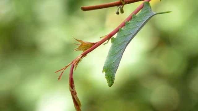 asma, close, 4k yeşil hornworm caterpillar asılı - salud stok videoları ve detay görüntü çekimi