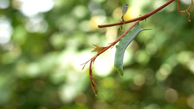 vine asılı yeşil hornworm caterpillar - salud stok videoları ve detay görüntü çekimi