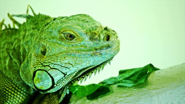 iguana verde en gris de fondo blanco. Vista de primer plano de Iguana - vídeo