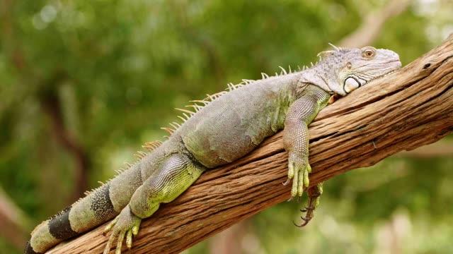 木材の緑のイグアナ。 - 怠惰点の映像素材/bロール