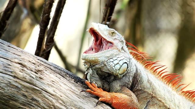 Green Iguana Relaxing video