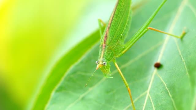 grünes insekt - grashüpfer stock-videos und b-roll-filmmaterial