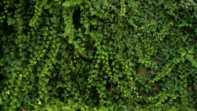녹색 아이비 배경 - 아이비 스톡 비디오 및 b-롤 화면