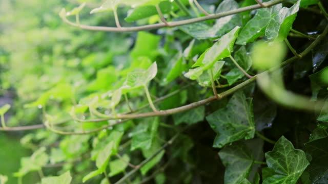 Green Ivy Background