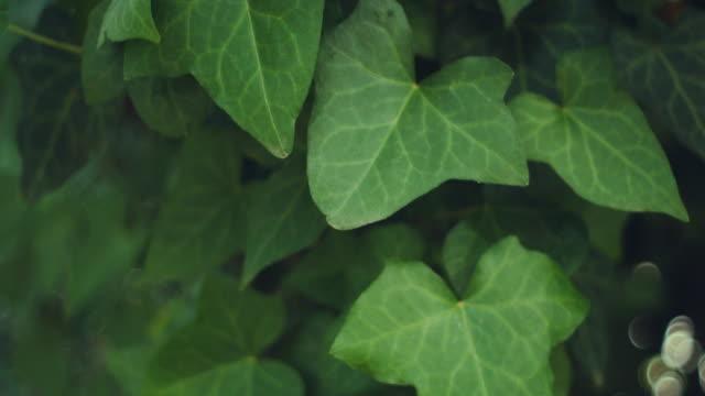 vídeos de stock e filmes b-roll de a green ivy hedera plant in a lawn. dolly shot - ivy building