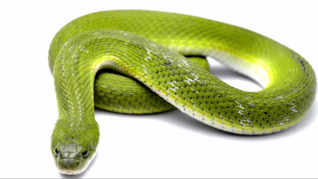 Best Snake Stock Videos and Royalty-Free Footage - iStock