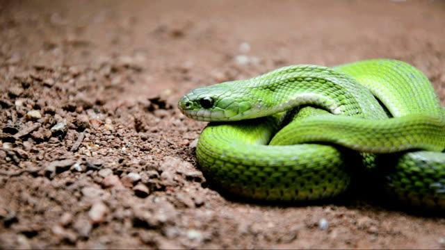 green keelback snake video