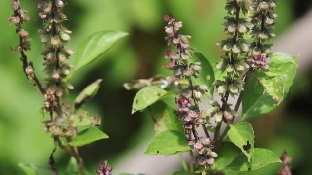 groene blad en bloem van Heilige basilicum voedsel kruid video