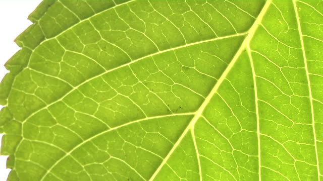 Green leaf closeup video