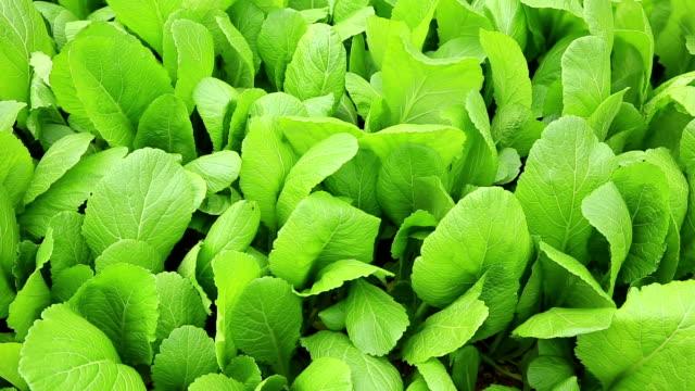 green leaf mustard  in growth at garden video