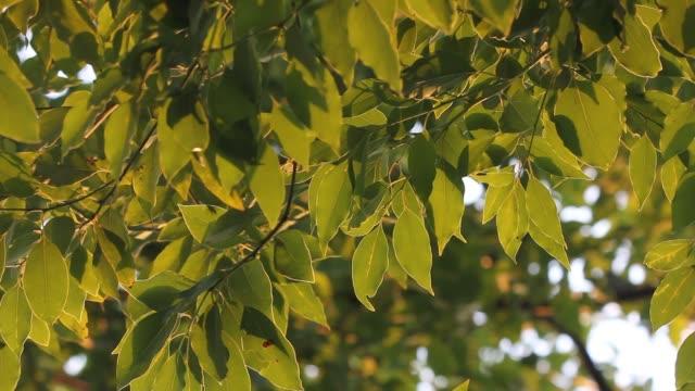 Groene blad van Cinnamomum camphora boom op zonsondergang tijd video