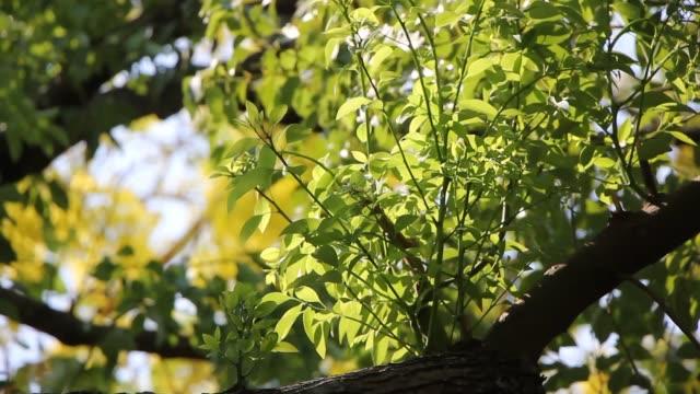 Groen Blad van Cinnamomum kamferaboom video