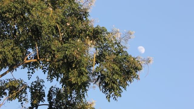 Groene blad van boom en witte bloem of Fraxinus griffithii boom video