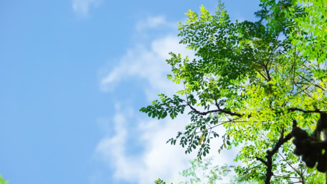 4K Green leaf on tree in wind with clear blue sky and clouds in Thailand video