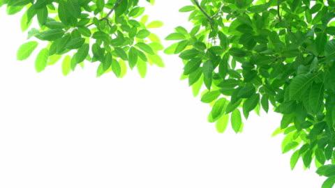 vídeos de stock e filmes b-roll de green leaves frame on white background with center space - folha