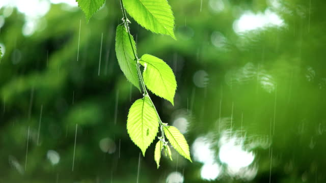 Green leaves in rainy weather video
