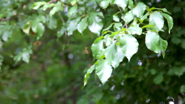 green leaves in wind video
